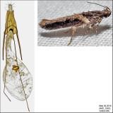 1858 - Telphusa longifasciella IMG_3362.jpg