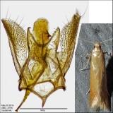 0143 - Coptotriche zelleriella IMG_3379.jpg