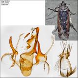 2172 - Filatima serotinella IMG_3400.jpg