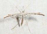 6234 - Morning-glory Plume Moth - Emmelina monodactyla