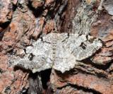6347 - White Pine Angle - Macaria pinistrobata