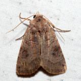 10944 - Smith's Dart - Xestia smithii