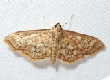 5275 - Bold-feathered Grass Moth - Herpetogramma pertextalis