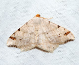 6342 - Red-headed Inchworm - Macaria bisignata