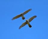 Cooper's Hawks - Accipiter cooperii