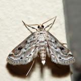 4764 - Watermilfoil Leafcutter - Parapoynx allionealis