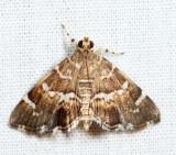 5169 - Spotted Beet Webworm Moth - Hymenia perspectalis