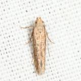 2049 - Eggplant Leafminer - Keiferia glochinella