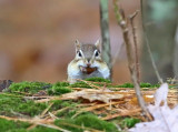 Eastern Chipmunk - Tamias striatus (with a mouthful of acorns)