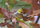 Black-throated Green Warbler - Setophaga virens