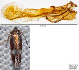 0099 - Stigmella quercipulchella IMG_3253.jpg