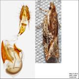 3372 - Ancylis brauni