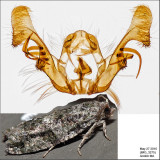 3230 - Maple Twig Borer - Proteoteras aesculana