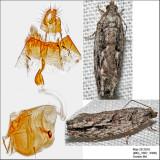 3259 - Arrowhead Moth - Gretchena deludana