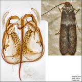 Pigritia sp. IMG_3312.jpg