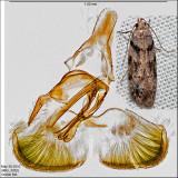 Pseudotelphusa sp. IMG_3332.jpg