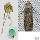 Pseudotelphusa sp. IMG_3420.jpg