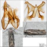 Pseudotelphusa sp. IMG_3425.jpg