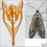 Copromorphoidea Moths Identified with Genitalia Pictures (2312-2512)