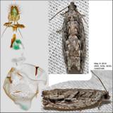 3259 - Arrowhead Moth - ?Gretchena deludana