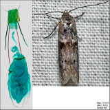 Holcocera sp. IMG_3453.jpg