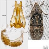 1878 - Xenolechia ontariensis IMG_3696.jpg