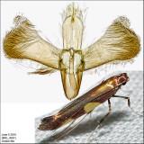 0595 - Caloptilia bimaculatella? sp1 IMG_3697.jpg