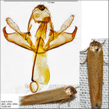 1221 - Holcocera immaculella IMG_3698.jpg