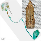Gelechiidae Moths Identified with Genitalia Picutres (1681-2311)