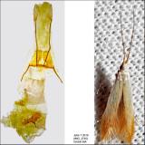1300 - Birch Casebearer Moth - Coleophora comptoniella (possibly) IMG_3745.jpg