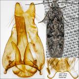 1878 - Xenolechia ontariensis IMG_3778.jpg