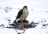 Sharp-shinned Hawk with cardinal kill