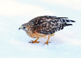 Red-shouldered Hawk - Buteo lineatus