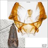 Monochroa sp. IMG_3812.jpg