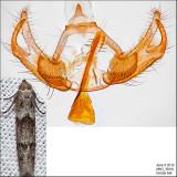 1151.1 - Hypatopa simpliciella IMG_3818.jpg