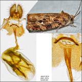 2772 - Labyrinth Moth - Phaecasiophora ?niveiguttana