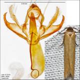 1221 - Holcocera immaculella IMG_3930.jpg