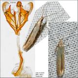 1380 - Coleophora fagicorticella IMG_3937.jpg