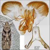Pseudotelphusa sp. IMG_3956.jpg