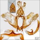 3695 - Sparganothis Fruitworm Moth - Sparganothis sulfureana