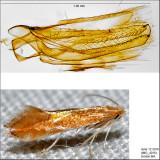 0738 - Phyllonorycter basistrigella IMG_4016.jpg