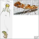 0808 - Cameraria australisella IMG_4030.jpg
