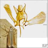 0143 - Coptotriche zelleriella IMG_4046.jpg