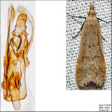 2283 - Spotted Dichomeris - Dichomeris punctidiscella IMG_4054.jpg