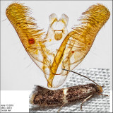 Micro Moths Identified with Genitalia Pictures (1076-1680)