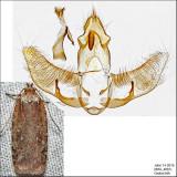 0869 – Walsingham's Agonopterix Moth – Agonopterix walsinghamella