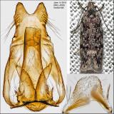 1878 - Xenolechia ontariensis IMG_4092.jpg