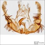 2859 - Celypha Moth - Celypha cespitana IMG_4098 genitalia.jpg