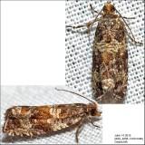 2859 - Celypha Moth - Celypha cespitana IMG_4098.jpg