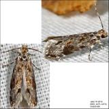 Dryadaula sp.  IMG_4473.jpg